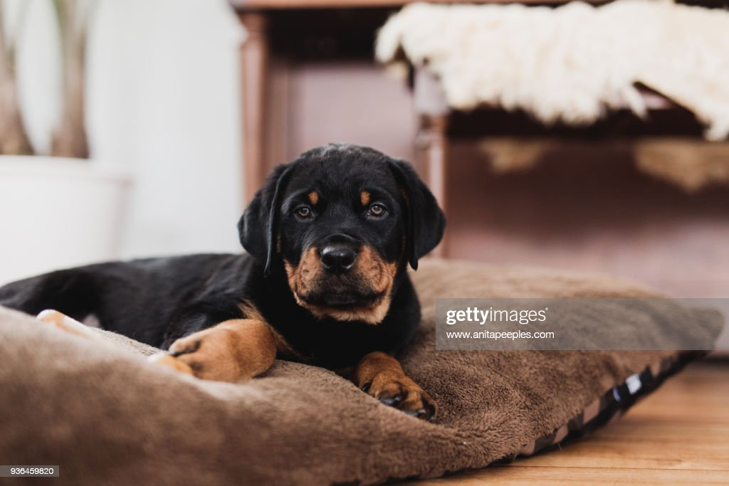 Rottweiler Puppy Lying On Dog Bed Inside Home Stock Photo Getty Images