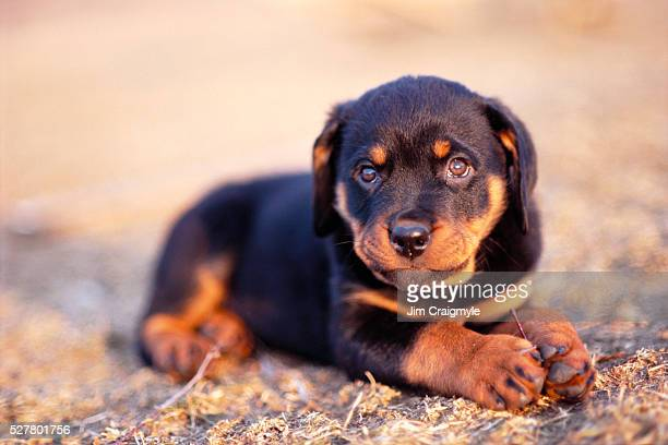 rottweiler puppy - rottweiler stock photos and pictures