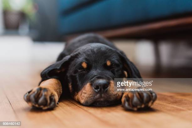 rottweiler puppy sleeping in living room - rottweiler stock photos and pictures