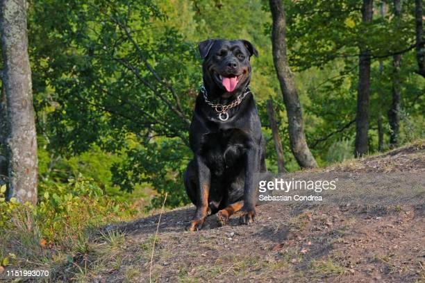rottweiler resting on the hill in the sunset, transylvania, romania. - rottweiler stock photos and pictures