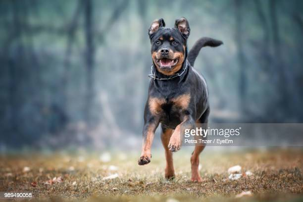 rottweiler running on field - rottweiler stock photos and pictures