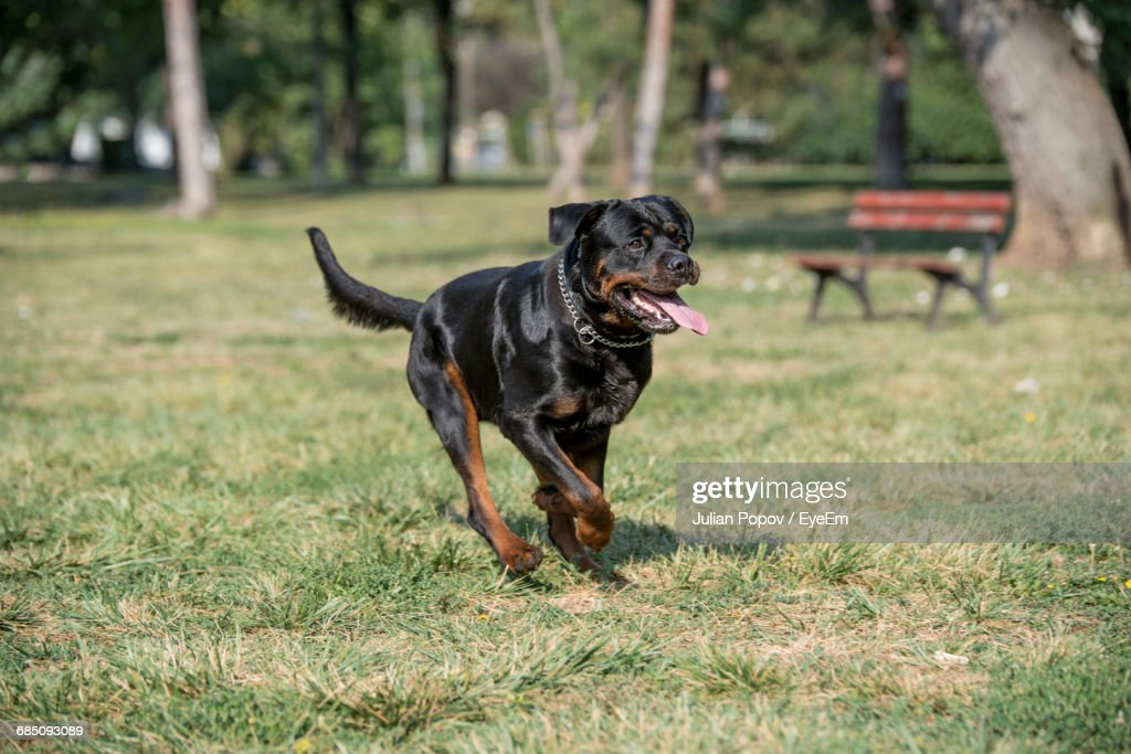 Rottweiler Running On Grassy Field Stock Photo Getty Images