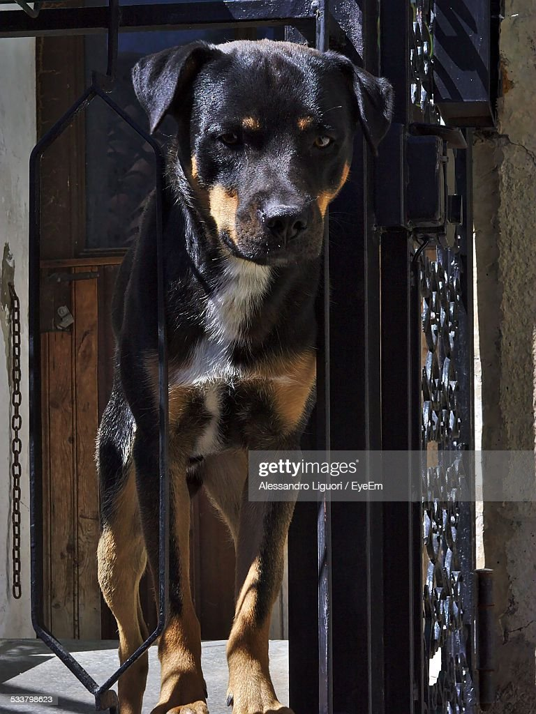 Rottweiler Standing In Front Of House : Foto stock