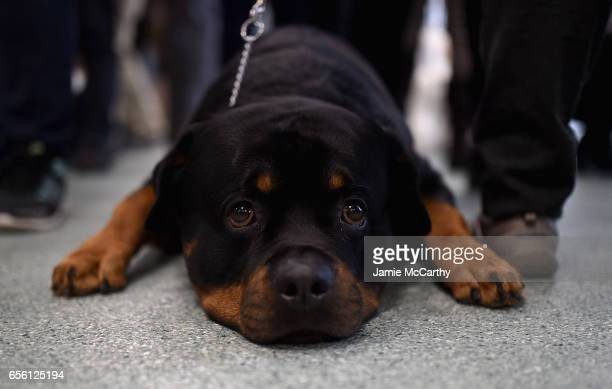Rottweiler the 8th most popular breed of 2016 is shown at The American Kennel Club Reveals The Most Popular Dog Breeds Of 2016 at AKC Canine Retreat...