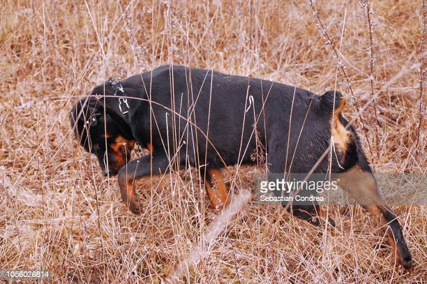 Rottweiler walked through the reed, Animals, Romania