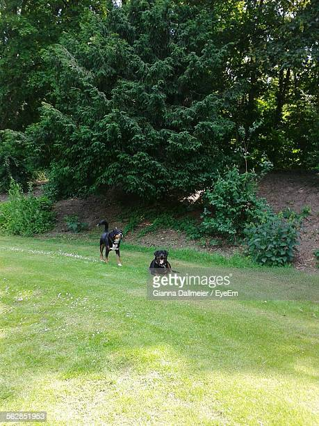Rottweilers On Grassy Field Against Trees At Park