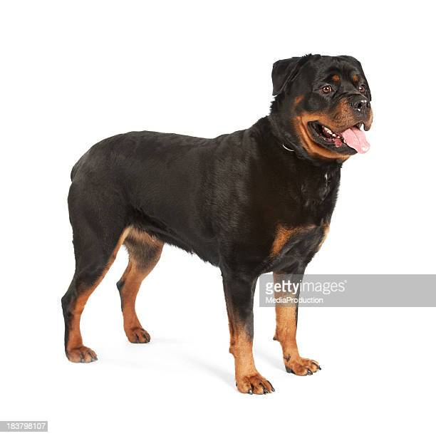 rotweiller - dog cruelty stock pictures, royalty-free photos & images
