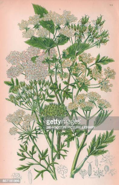 1 Rough chervil 2 Lawny fruited chervil 3 Broad leaved chervil 4 Sweet cicely 5 Wild carrot chromolithograph ca cm 14x22 from The Flowering Plants...