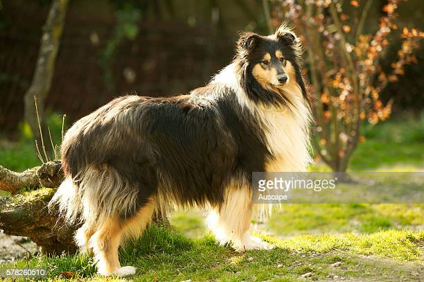 Rough collie Canis familiaris in a park
