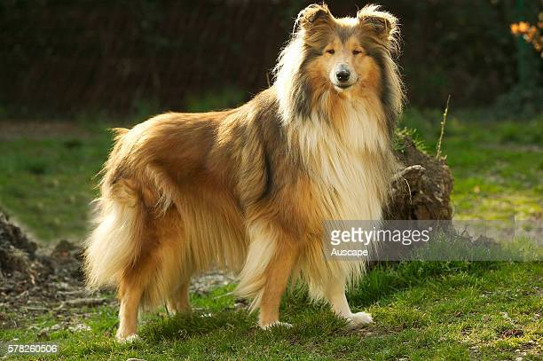 Rough collie Canis familiaris out of doors standing looking to camera