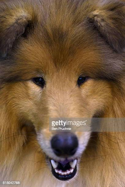 A rough collie poses for a photograph on the third day of Crufts 2016 on March 12 2016 in Birmingham England First held in 1891 Crufts is said to be...