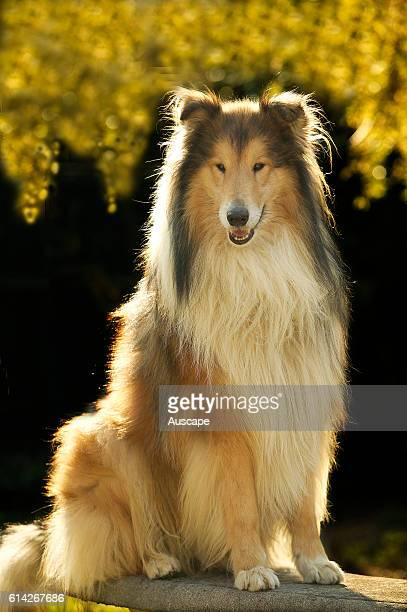 Rough collie sitting on haunches