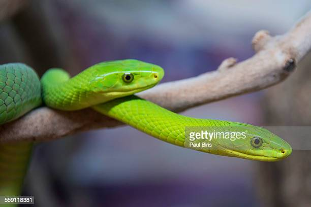 Rough green snakes,  Opheodrys aestivus