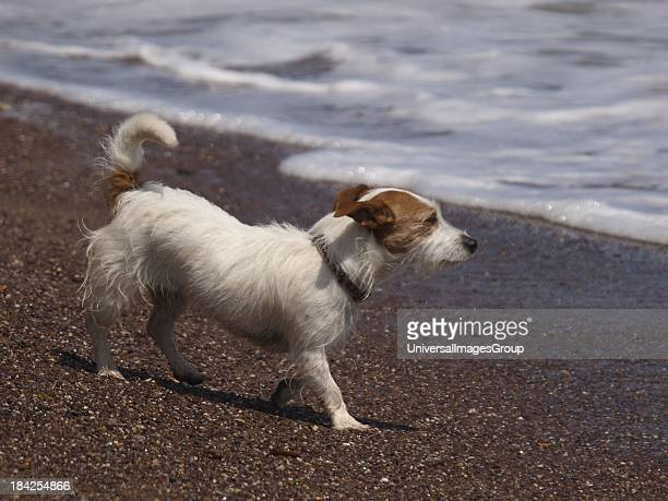 Rough haired Jack Russell Dog UK