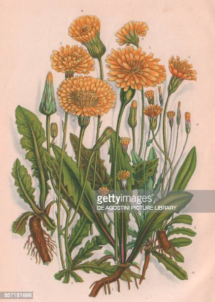 1 Rough hawkbit 2 Autumnal hawkbit 3 Hairy thrincia 4 Smooth cats ear 5 Long rooted cats ear 6 Spotted cats ear chromolithograph ca cm 14x22 from The...