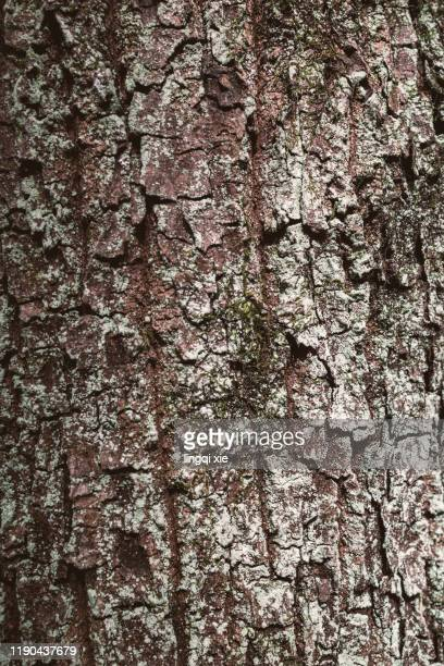 rough mottled bark of big trees in hangzhou, china - mottled skin stock pictures, royalty-free photos & images