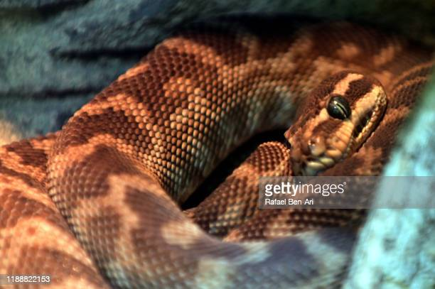 rough-scaled python - rafael ben ari stock pictures, royalty-free photos & images