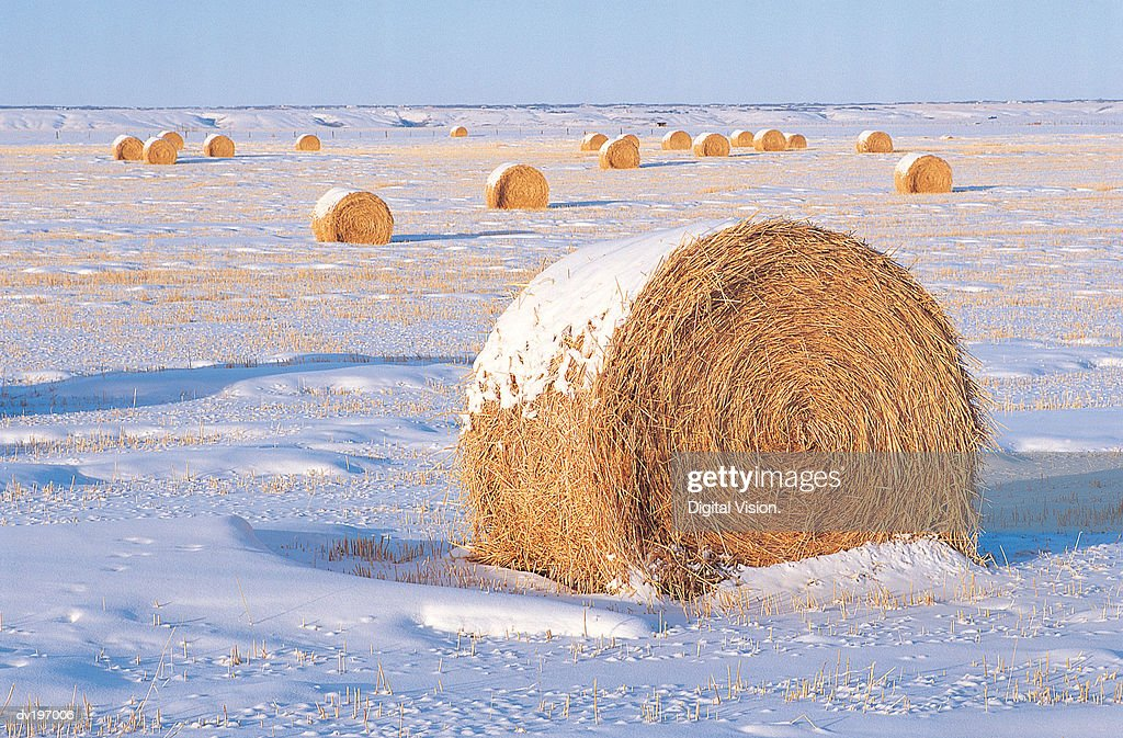 Round bales in field in winter : Stock Photo