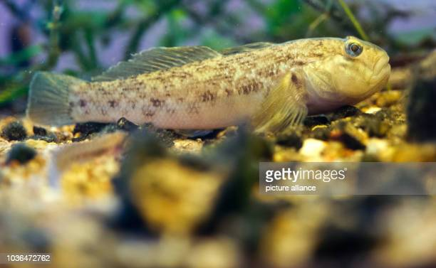 A round goby swims in an aquarium at the National Park Building in Criewen Germany 23 September 2013 Fisher Helmut Zahn made an important discovery...