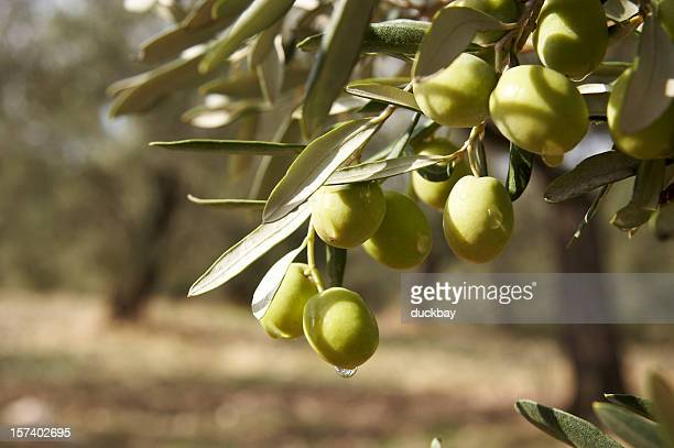 Round green olives attached to the tree