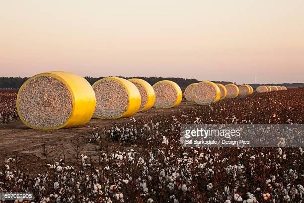 round modules of harvested cotton, produced by john deere on-board module cotton picker - katoenbol stockfoto's en -beelden