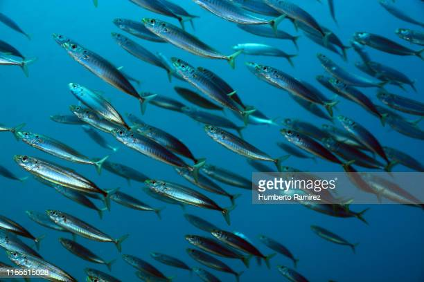 round scad school. - mackerel stock pictures, royalty-free photos & images