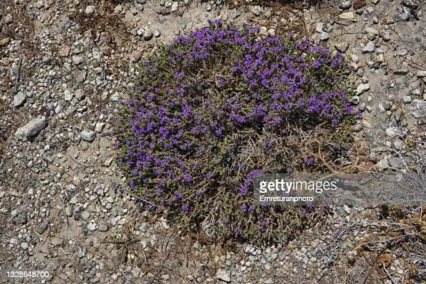 round shaped wild thyme plant on the ground on a sunny day. - emreturanphoto stock-fotos und bilder