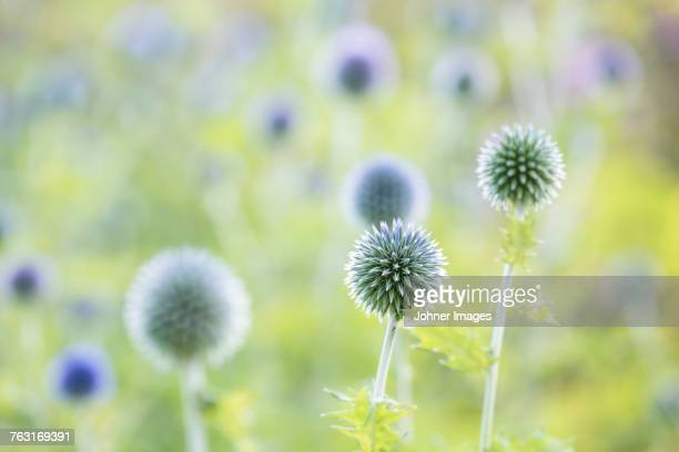Round spiky flowers blooming