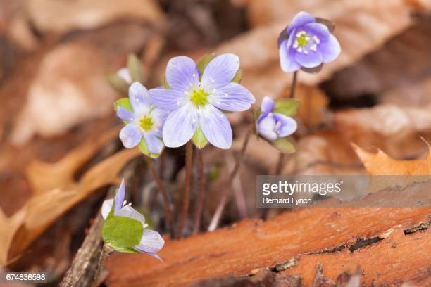 Round-lobed Hepatica flowers