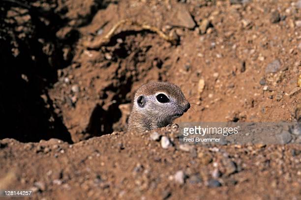 Round-tailed Ground Squirrel, Spermophilus tereticaudus, peeking out of burrow, Sonoran Desert, Arizona, USA
