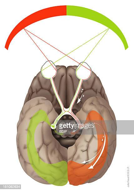 Route Of The Visual Information In The Brain Departure Of The Information Vision Field Receptor Eye Via The Ganglion Cells Of The Retina X Cells...