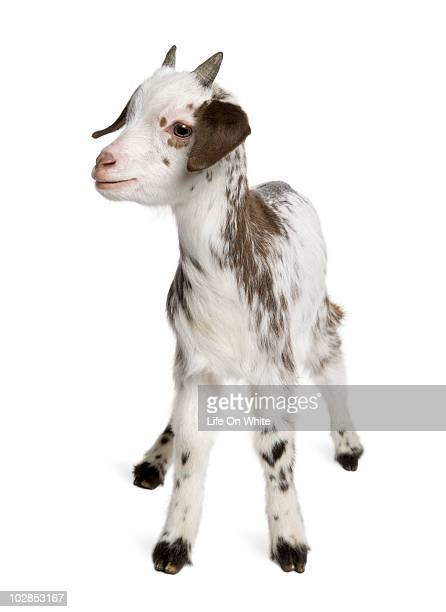 Rove goat Kid