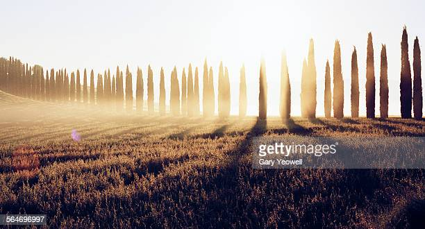 Row f cypress trees backlit with rising sun