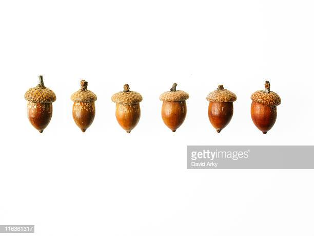 Row of Acorns on white background