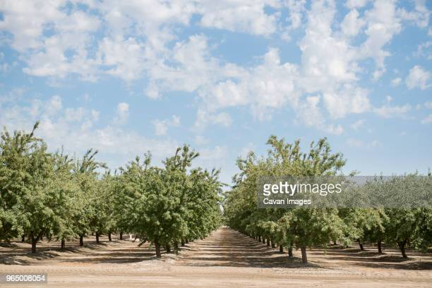 row of almond trees growing on field against cloudy sky - almond stock pictures, royalty-free photos & images