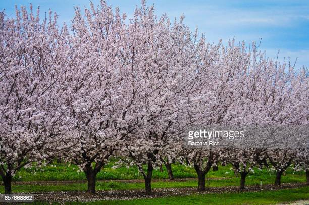 Row of almond trees in bloom with green grass and hazy blue sky