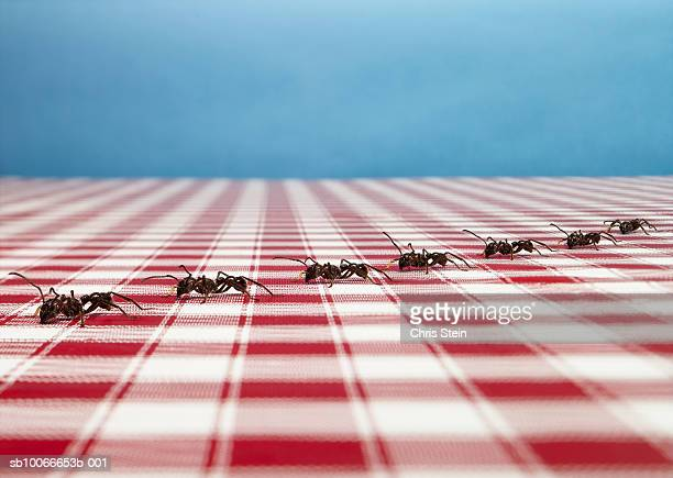 row of ants on tablecloth - ants stock pictures, royalty-free photos & images