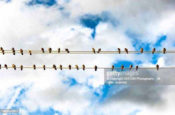 Row of birds on electric wire