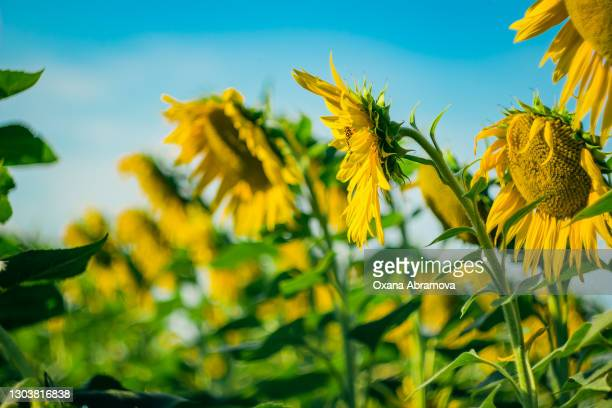 row of blooming sunflowers, perspective, blurred background - russia stock pictures, royalty-free photos & images