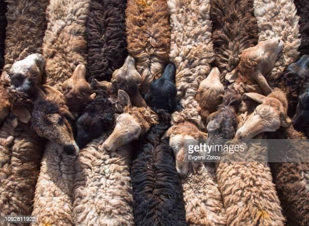row of bound together sheep at mal bazaar (livestock market) in kashgar, xinjiang, china - flock of sheep stock photos and pictures