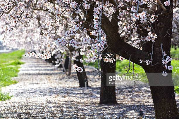 Row of California almond trees in bloom