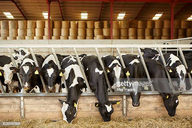 a row of cattle feeding on hay in an open barn on a farm - dairy cattle stock pictures, royalty-free photos & images