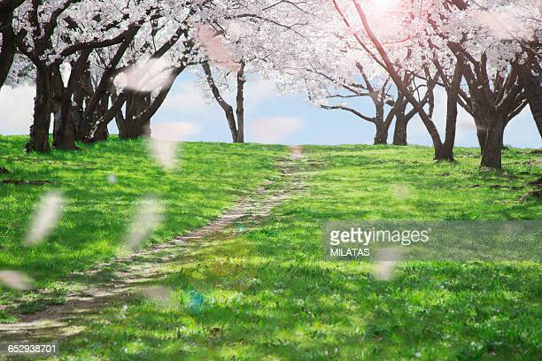 Row of cherry blossom trees in japan