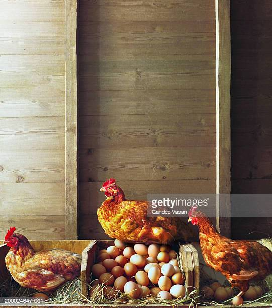 row of chickens in coop, one sitting on pile of eggs - exceed and excel stock pictures, royalty-free photos & images