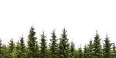 Row of Christmas pine trees isolated on white