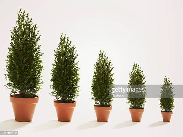 row of conifer trees growing in size - pot plant stock pictures, royalty-free photos & images