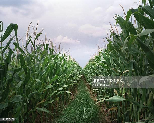 row of corn - tallo fotografías e imágenes de stock