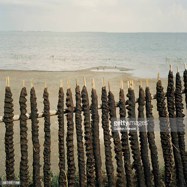 Row of cow dung plastered reeds dry in the sun on the shoreline of Aralia, a shrinking island of silt which is one kilometre long by thirty metres...