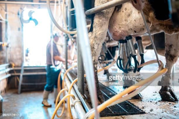 zeile der kühe gemolken - mann beim melken stock-fotos und bilder
