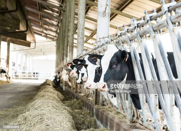 row of cows looking from stalls at organic dairy farm - dairy cattle stock pictures, royalty-free photos & images